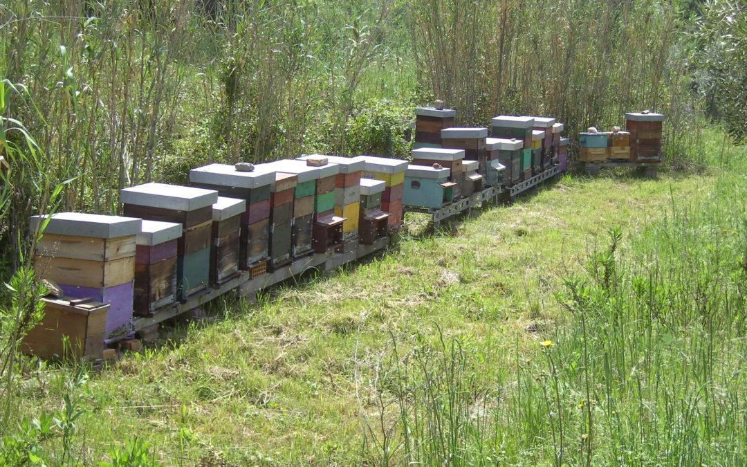 Api ruspanti e api civilizzate